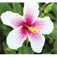 Find 70mm Hibiscus Apple Blossom at Bunnings Warehouse. Visit your local store for the widest range of garden products.