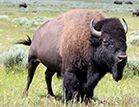 Wyoming State Mammal: Bison