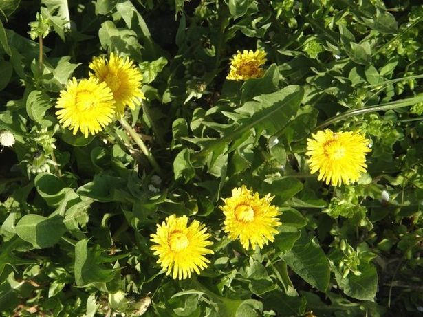 """""""Locate young dandelions as they emerge in the spring before they have blossomed. Be sure the area has not been sprayed with pesticides or herbicides. 2  Grasp the dandelion leaves in your left hand. Using your right hand, slide a sharp knife under the roots of the dandelion and cut.""""    [dandelion, Taraxacum officinale, Asteraceae]"""