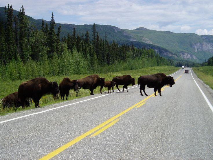 6.  Buffalo in Mucho Lake area