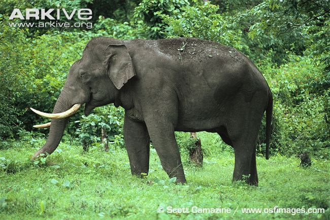 Asian elephants are very important in the religious and cultural history of the region in which they live.Asian elephants eat up to 150kg of...