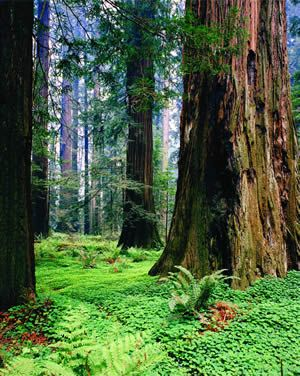 113 Best The Redwood Forest Images On Pinterest