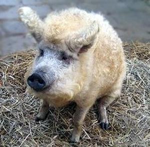 Mangalitza Pigs AHHH!