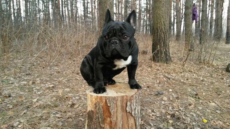 French bulldog Leo