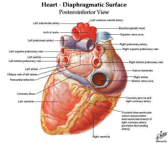 real human heart labeled vwsgshc | heart <3 | pinterest | anatomy, Muscles