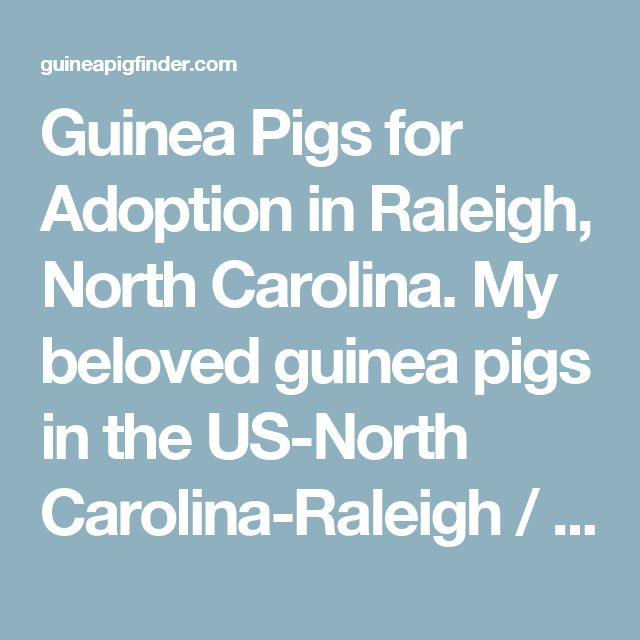 Guinea Pigs for Adoption in Raleigh, North Carolina. My beloved guinea pigs in the US-North Carolina-Raleigh / Durham / CH region - www.GuineaPigFinder.com
