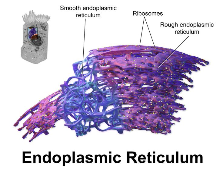 A network of membranous tubules within the cytoplasm of eukaryotic cell, continuous with the nuclear membrane.  It usually has ribosomes attached to this involved in protein and lipid synthesis.