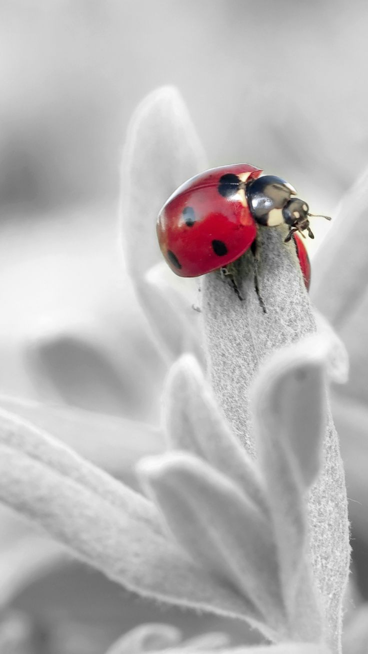 Ladybug Insect Flower Petals #iPhone #6 #plus #wallpaper