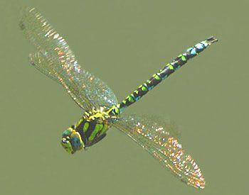 Dragonfly - Google Image Result for http://1.bp.blogspot.com/-taYlKZoBLtg/TmPVS6HoeyI/AAAAAAAABqQ/ZvyzNTfr5tw/s1600/dragon-fly.jpg