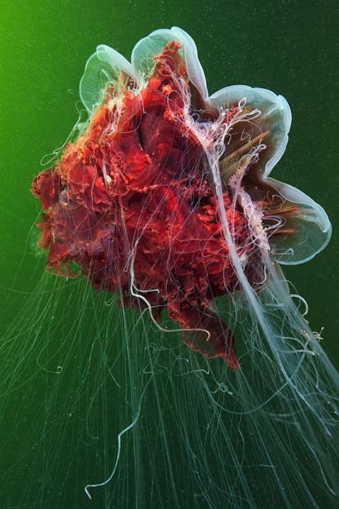 Incredible Photographs of Jellyfish by Alexander Semenov