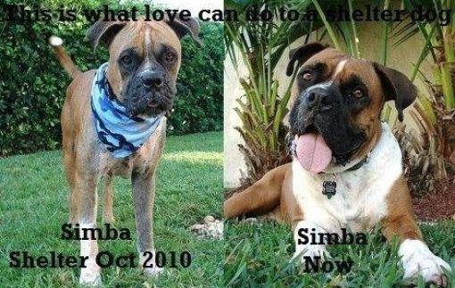 True Story from Simba's adoptive family. Simba was a 2-year-old stray Boxer boy running the streets of Miami. He was half bald, oozing bloody sores from Demodex mites, he had clogged ears, a limp, he was 25 pounds underweight, not housebroken and had no leash manners. He gave me a body hug and wouldn't let go! We adopted Simba from Coastal Boxer Rescue here in South Florida. It took six months to cure this boy of his Demodex and bad manners. Simba is now the best dog ever!