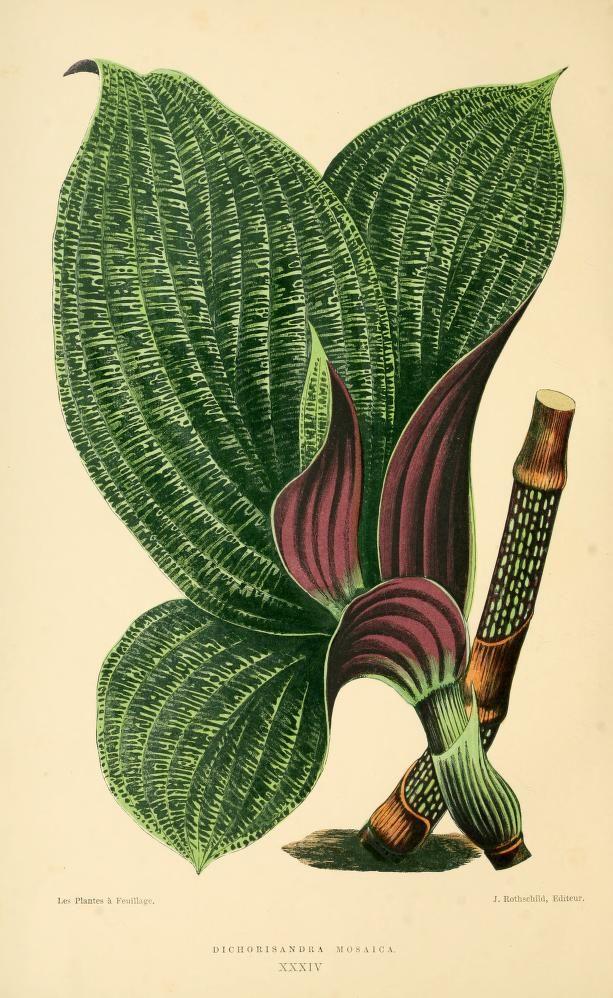 Dichorisandra mosaica. Les plantes a feuillage coloré v.2 Paris :Rothschild,1867-1870. Biodiversitylibrary. Biodivlibrary. BHL. Biodiversity Heritage Library