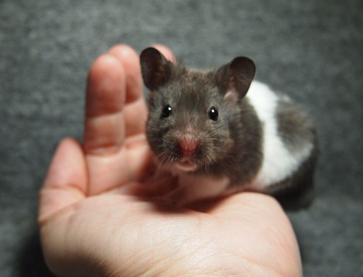 Syrian hamster Dingy black banded 生後38日   Awwwwwww ...