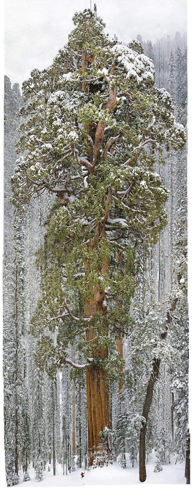 Sierra Nevada mountains in California, 5,000 feet above sea level. Here lives The President, a 247 foot (75m) Giant Sequoia tree, 3,200 year old, with a 27 foot (8m) wide trunk, 2nd largest tree in the world.