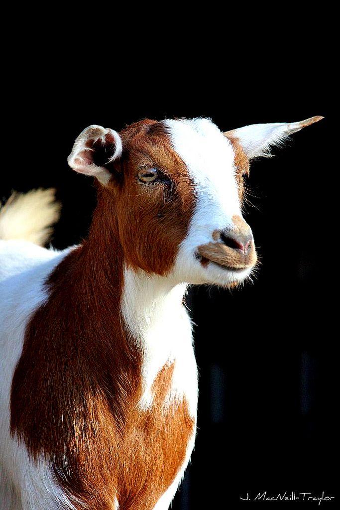 https://flic.kr/p/aPixUa | red and white goat | fainting goat from Goat Flower Farm
