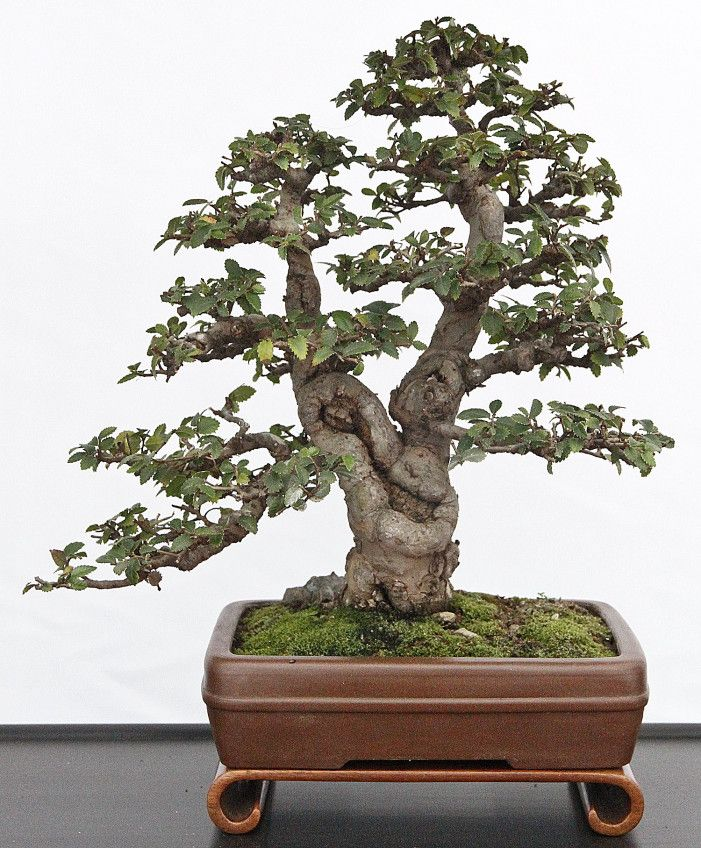 45 besten bonsai twin trunk sokan bilder auf pinterest bonsai kleine b ume und pflanzen. Black Bedroom Furniture Sets. Home Design Ideas