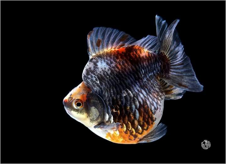 Artemiash He Short Tail Ryukin Fancy Goldfish Goldfish Goldfish Types Fish Pet