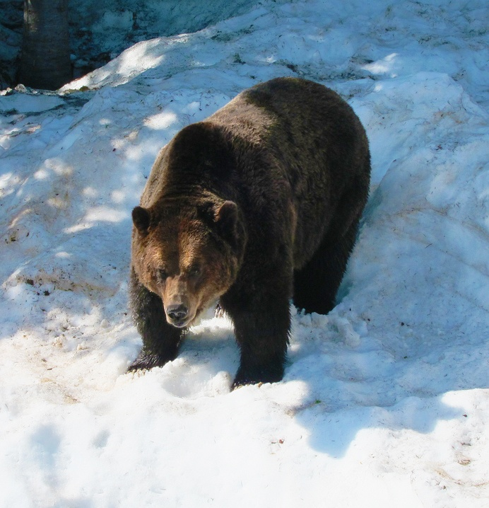 Grizzly waking up from hibernation on Grouse Mountain