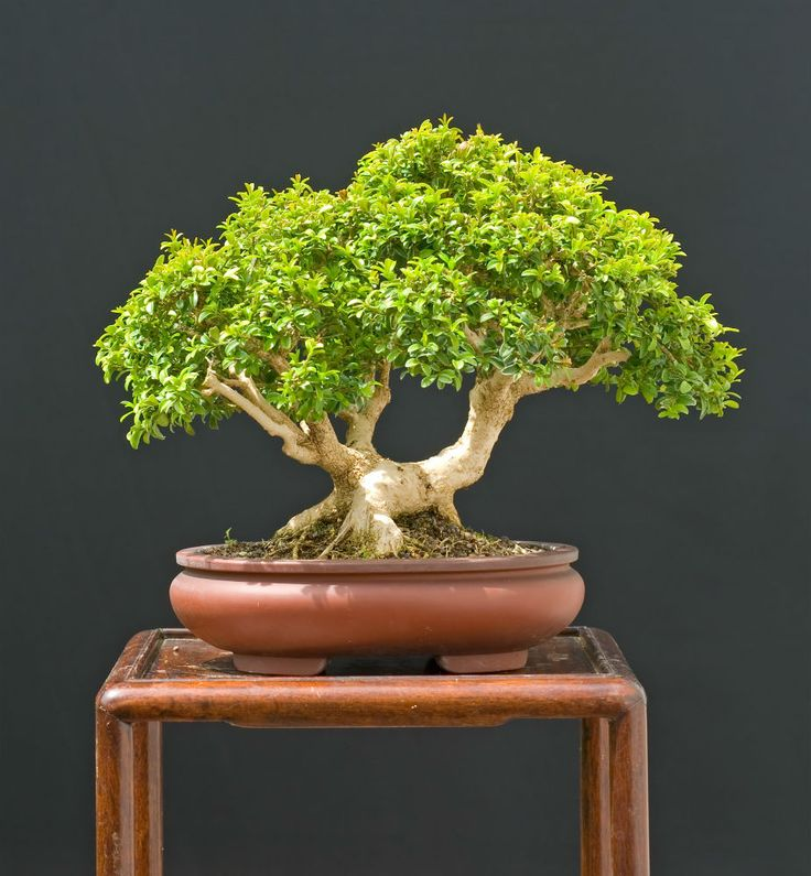 Best ideas about japanese boxwood on pinterest yard