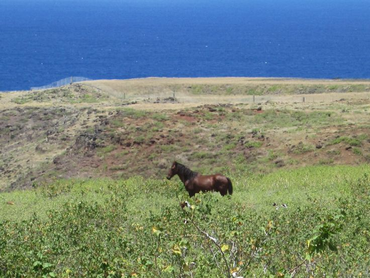 Wild horse on Rangiroa, the 2nd biggest lagoon, in the world. Marshall Islands being the biggest? #Tahiti #Horse