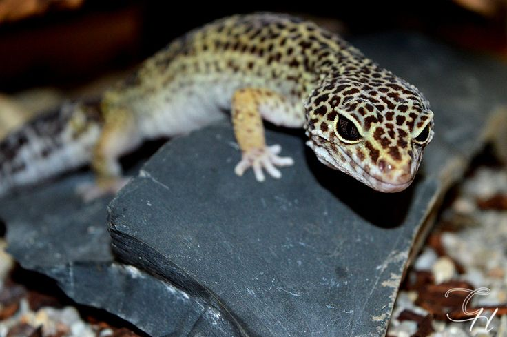 Resten av mina leopardgeckos