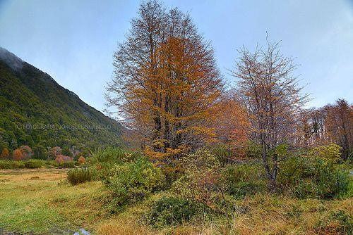 Arbol de otoño -  P.N. Puyehue ( Patagonia - Chile)