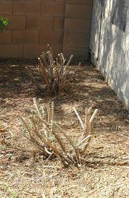 Severe pruning