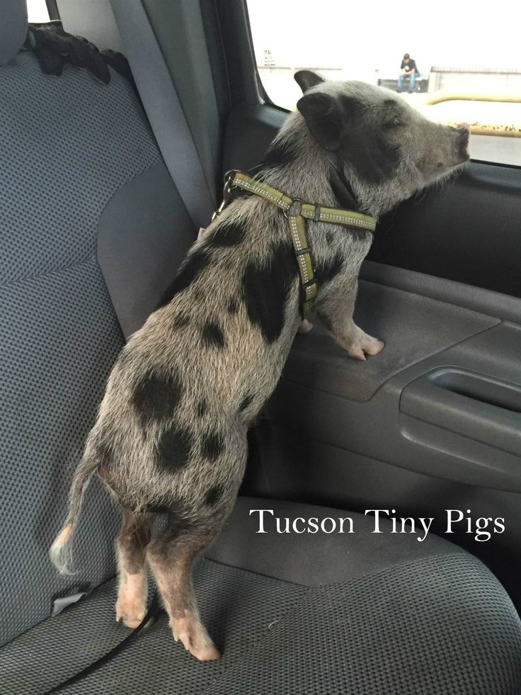 """Silo"" going for a car ride 