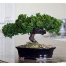 bonsai trees Monterey - Single Trunk-Preserved Bonsai Tree Price: 69.95 A bonsai tree is a symbol of patience, care, and the rewards of diligent work. Their fragile beauty has gripped imaginations from east to west for centuries. Care of a live bonsai tree is a difficult and time consuming endeavor