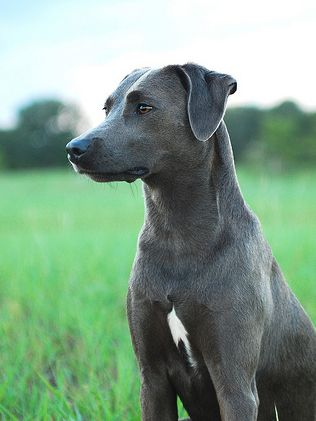Official State Dog Breed of Texas: Blue Lacy. Designated by HCR 108, 79th R.S. (2005) authored by Representatives Joaquin Castro and Mark Strama and sponsored by Sen. Jeff Wentworth. [Image by Wikimedia Commons user TrueBlueLacys] Read the resolution at: http://www.capitol.state.tx.us/tlodocs/79R/billtext/pdf/HC00108F.pdf#navpanes=0