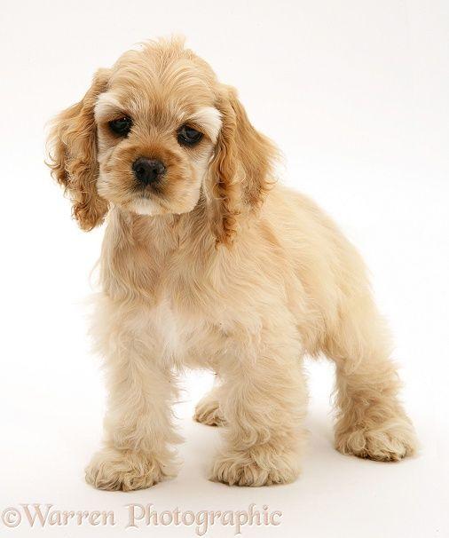 Dog: Buff American Cocker Spaniel pup photo