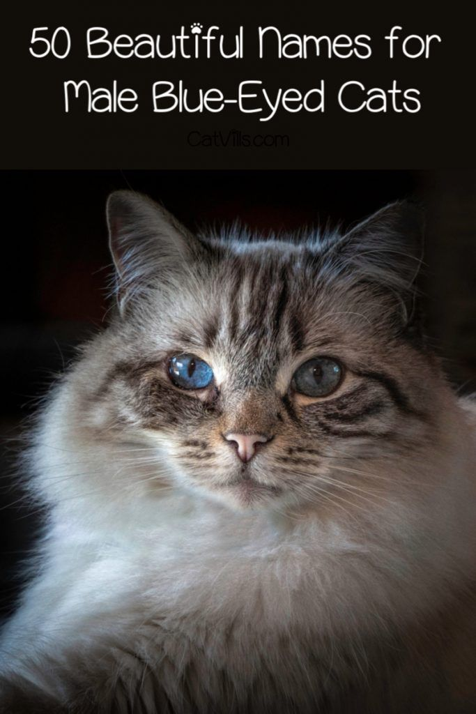 100 Beautiful Blue Eyed Cat Names Catvills In 2020 Cat With Blue Eyes Cat Names Disney Cat Names