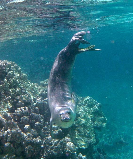 Hawaiian Monk Seal — A critically endangered species endemic to the Hawaiian Islands