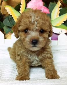 TOY MALTIPOO & TEACUP PUPPIES FOR SALE.. www.maltipoopuppies.us