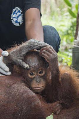 Veri aMICI: Madre e cucciolo di orangutan salvati nelle foreste indonesiane incendiate per creare piantagioni di olio di palma. Sono migliaia gli animali senza habitat e cibo