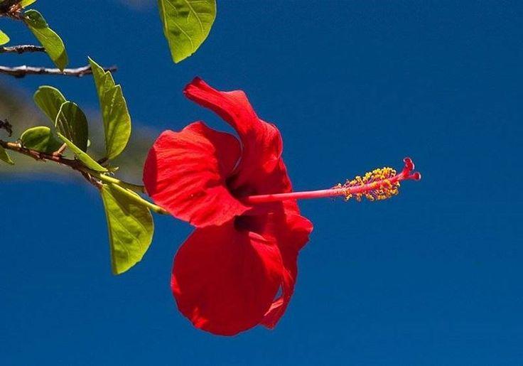 leggi ancora su: Significato Ibisco - - significato dei fiori - Ibisco linguaggio dei fiori http://www.giardinaggio.net/fiori/significato-dei-fiori/ibisco.asp#ixzz3THCjilMp