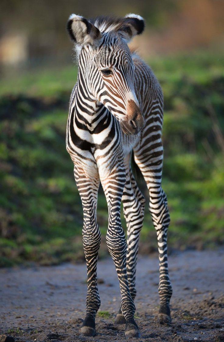 153 best zebra u0026 ref images on pinterest zebras animals and