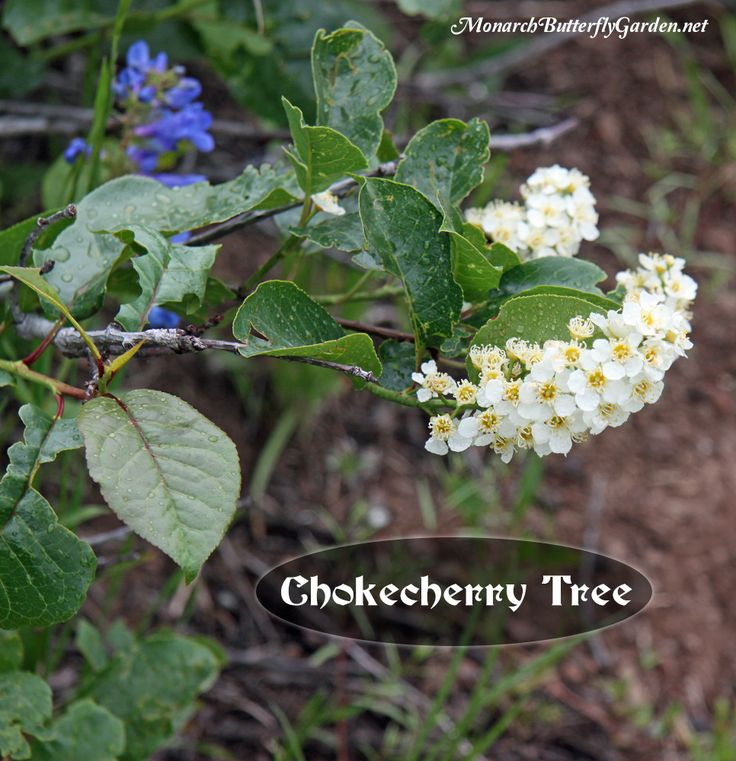 Chokecherry Tree- host butterfly plant for Eastern tiger swallowtails, Lorquin admirals,  and Two-tailed swallowtails.  A good  host tree because it tops out around 20 feet so it's easier to find caterpillars. Also a good option for containers.