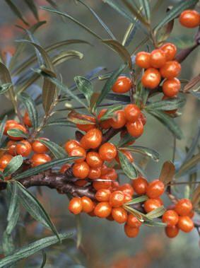 TINDVED - Hippophae rhamnoides / Sea Buckthorn / Star of Altai. [edible superfood, medicinal, nitrogen fixer, wildlife, dye plant]