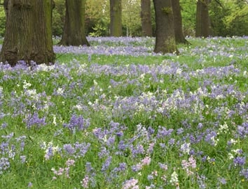 Google Image Result for http://www.kiwiquilts.co.nz/site/kiwiquilts/images/Extra_images_07/bluebells%2520in%2520Hagley%2520park%252002.jpg