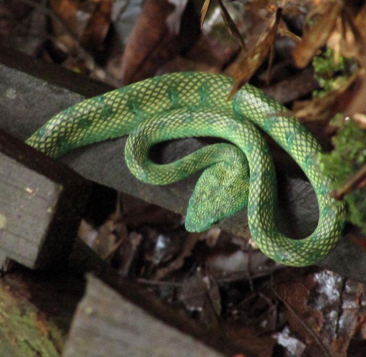 Serpiente en el PN de Bako, Borneo