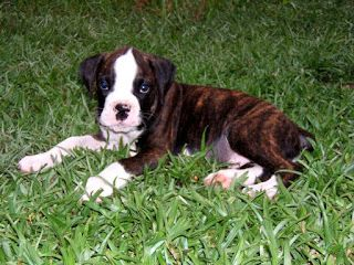 Cute Dogs: Brindle boxer puppies