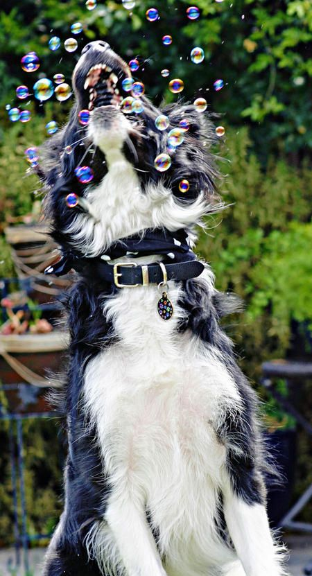 Scout the Border Collie-Here's another Scout pic-How FUN!!