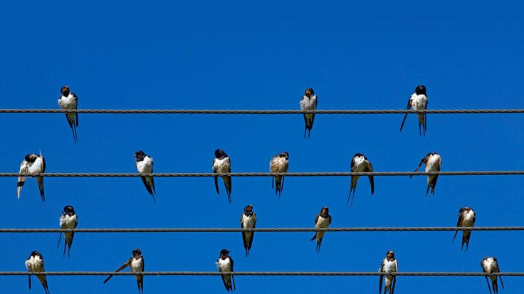 Barn swallows on wires, Overberg, Western Cape, South Africa (© Robert Harding/plainpicture)