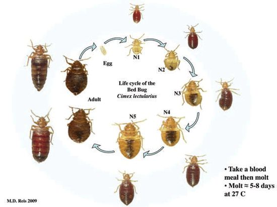 100 Best Images About Bed Bug Bites On Pinterest Bed Bug