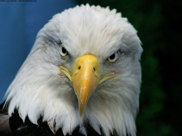 Bald Eagle spiritual symbolism