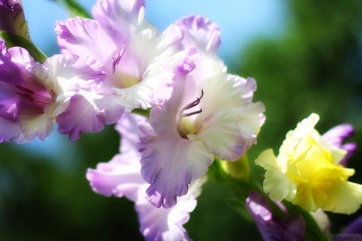 beautiful-gladiolus-1410769696_12.jpg (1920×1280)