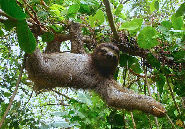 additional sos sloths in the rainforest