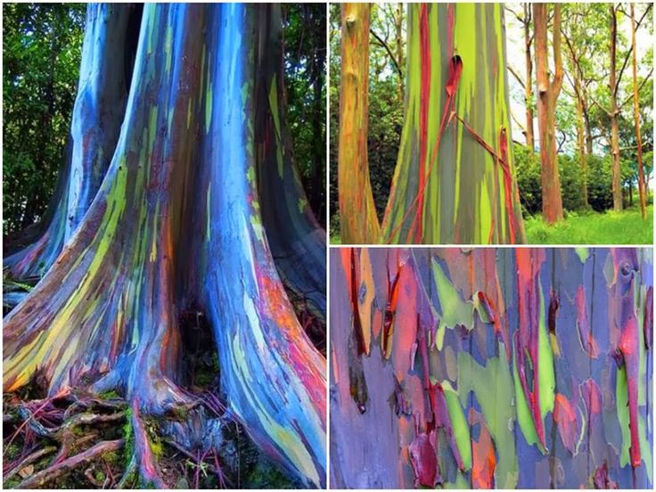 eucalipto arcoiris - no photoshop, just nature!!!