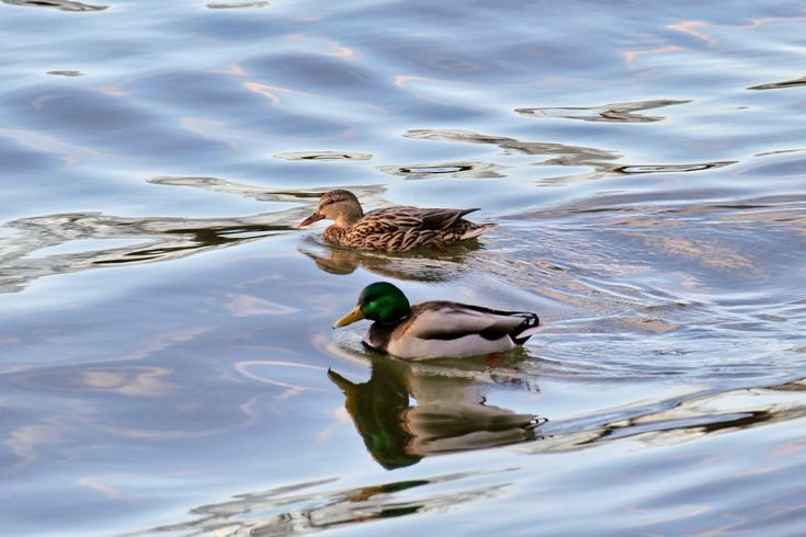 Two mallard ducks riding the waves in the Fraser River. Click image to enlarge.